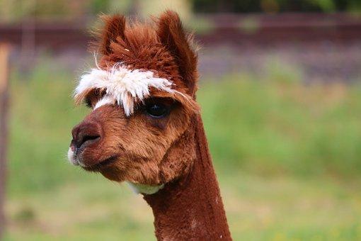Alpaca, Brown, White, Lama, Camel, Paarhufer, Animal