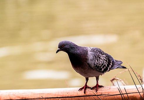 Pigeon, Dove, Bird, Animal, Plumage, Feather, Feathers