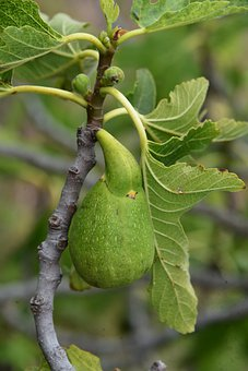 Fig, Tree, Fruit, Nature, Green, Ficus