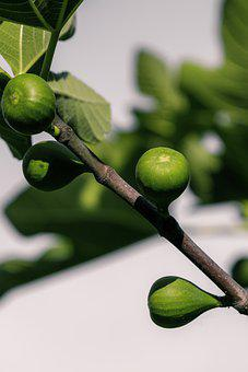 Plant, Ficus, Fig Tree, Figs, Fruit, Green, Immature