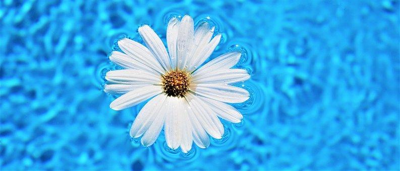 Daisy Flower, Pool Water Surface, Flower
