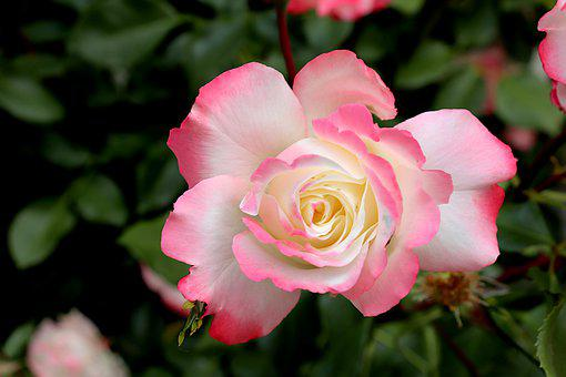 Pink, Roses, Flowering Shrubs