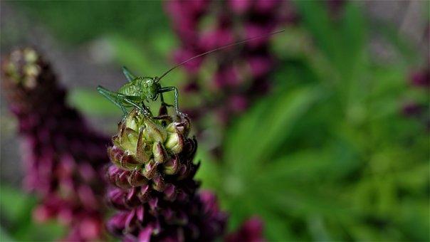 Grasshopper, Viridissima