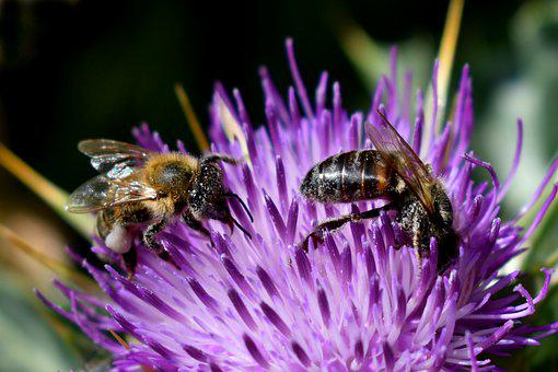 Bees, Thistle, Milk Thistle, Insect