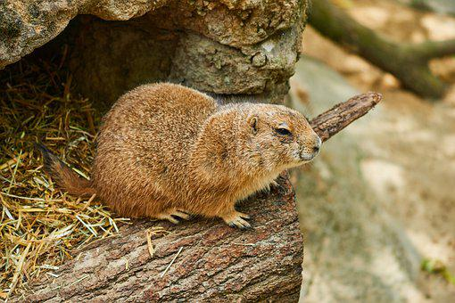 Prairie Dog, Rodent, Pack, Animal, Nager, Mammal, Cute