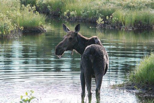 Moose, Alert, Looking, Wet, Nose, Big Nose, Wildlife