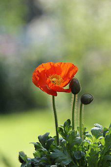 Plant, Flower, Poppy, Klatschmohn, Papaver Rhoeas, Red