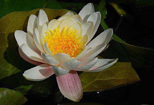 Water Lily, Aquatic Plant, Flower, Petal