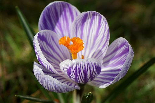 Krokus, Flower, Garden, Saffron, Colored, Spring, Plant