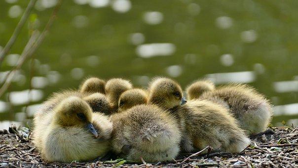 Chicken, Wild Goose, Snuggle, Animal World, Cute