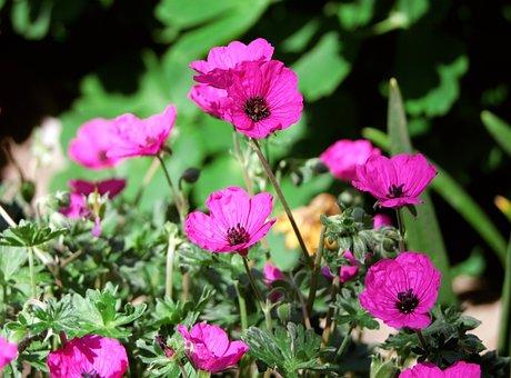 Geranium Right There, Geranium, Pink, Tiny