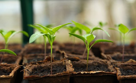 Seedling, Gardening, Greenhouse, Chilli, Vegetable