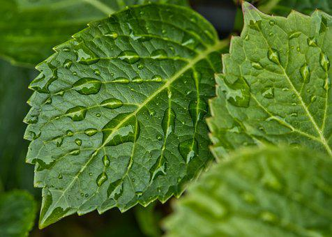 Rain, Raindrop, Drop Of Water, Leaves, Wet, Drip