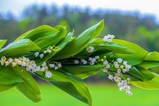 Lily Of The Valley, Spring, Blossom, Bloom, White