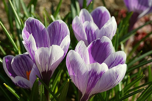 Multi-Colored Crocuses, White Lilac