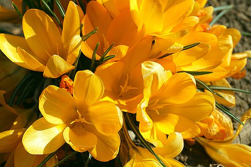 Crocus, Yellow, The Flowers Of Spring