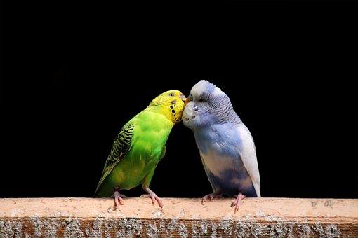 Budgerigars, Beaks, Pair, Animal World, Friendship