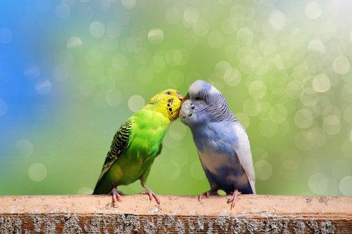 Budgerigars, Pair, Birds, Animal World, Friendship