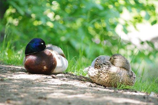Duck, Sleeping, Bird, Nature, Water