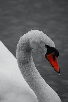 Swan, Red Filter, Animal, Bird, Nature, Adler, Birds