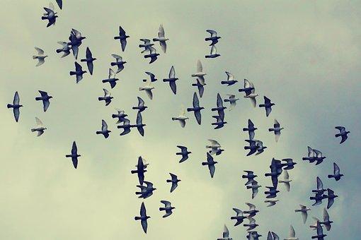 Pigeons, Flock Of Birds, Flying, Birds, Clouds