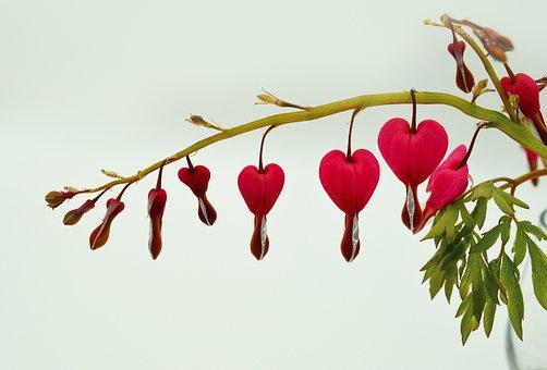 Bleeding Heart, Flowers, Flower, Two Tone Heart Flower