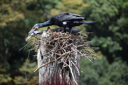Cormorant, Bird, Couple, Nest, Periyar Kerala India