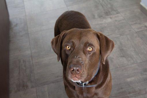 Labrador, Chocolate, Dog, Animal, Pet, Brown, Cute