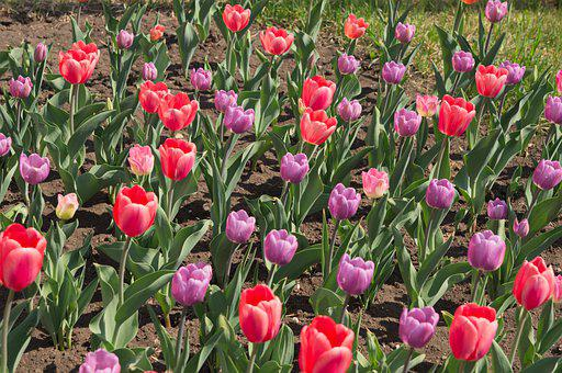 Flowers, Spring, Red, Purple, Tulips, Park, Day, Heat