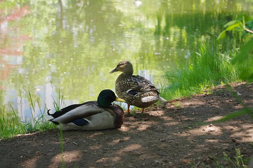 Duck, Bird, Pond, Nature, Pair, Couple