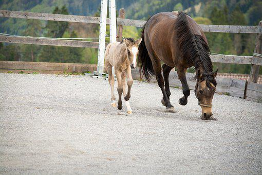 Horses, Ponies, Foal, Mother Mare, Breeding, Dun, Mare