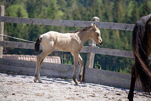 Foal, Horse, Pony, Dun, Young Animal, Coupling, Newborn