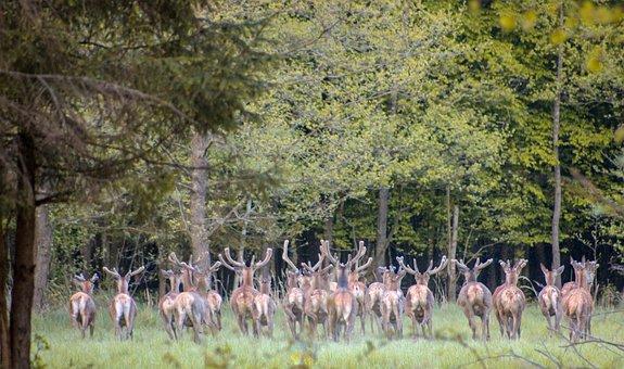 Deer, Forest, Nature, Mammal, Wild, Fawn