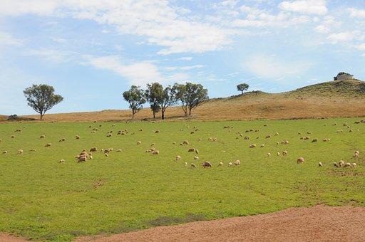 Sheep, Field, Grass, Rural, Farm, Lamb, Mammal, Wool