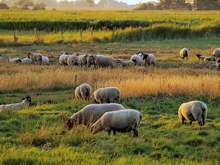 Flock Of Sheep, Morgenstimmung, Wool, Atmosphere