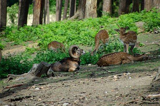Billy Goat, Horns, Hirsch, Nature, Forest, Flock
