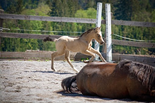 Foal, Horse, Pony, Baby Animal, Coupling, Gallop