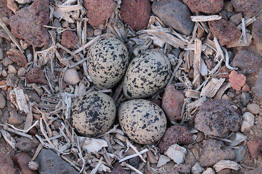 Killdeer, Egg, Nest, Eggs, Eggshell, Springtime, Hatch