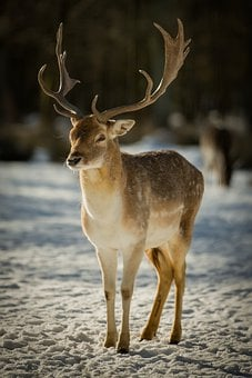Hirsch, Wild Animal, Forest, Nature