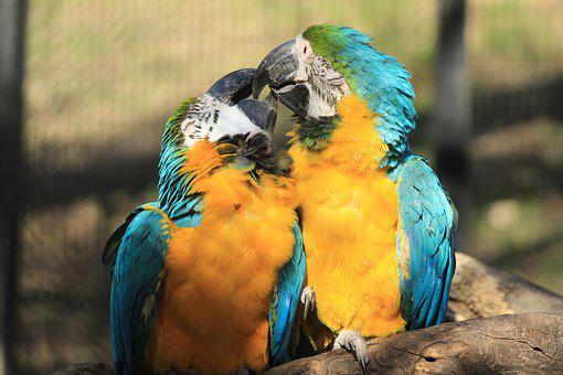 Couple Macaw, Couple, Macaw, Parrots, Parrot, Macaws