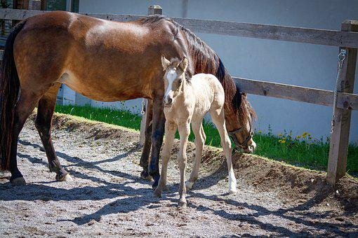 Foal, Horse, Pony, Mare, Dam, Young Animal, Baby Animal