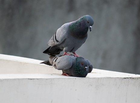 Birds Mating, Pigeon, Mating, Mate, Couple, Birds, Love