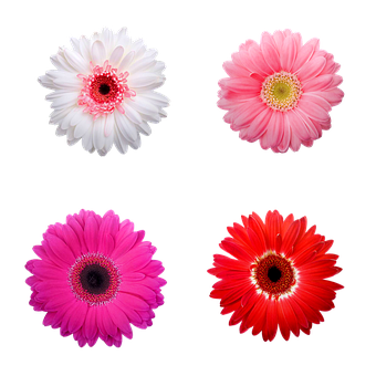 Daisies, Flowers, Gerbera, Daisy, Spring, Nature