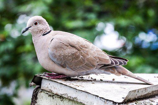 Pigeon, Dove, Animal, Wings, Feather, Nature, Peace