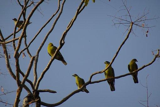Bird, Pigeon, Yfgp