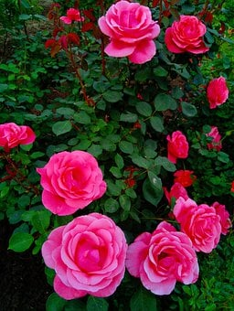 Roses, Rose, Garden, Flowers, Bush, Pink, Love, Flower