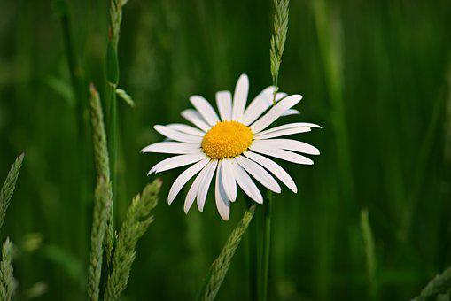 Ox-eye Daisy, Flower, Plant, Petal, Stem, Heart, Grass