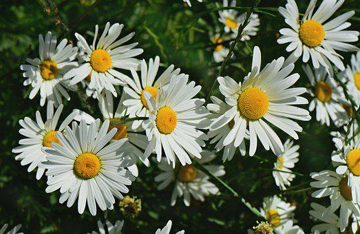 Ox-eye Daisy, Flower, Plant, Wildflower, Meadow