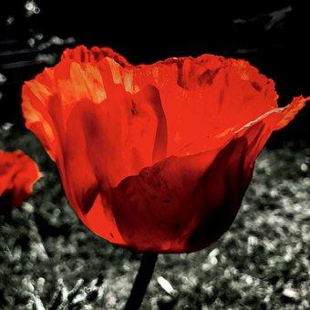 Turkish Riesenmohn, Poppy Flower, Poppy, Mohngewaechs
