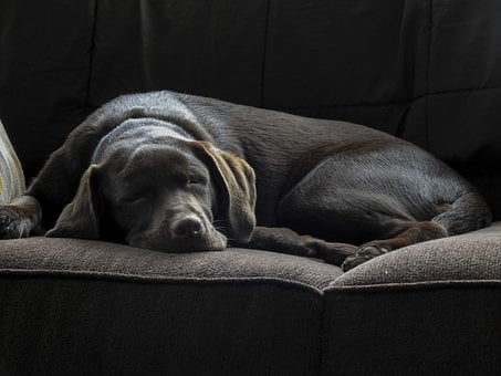 Dog, Labrador, Sleeping, Puppy, Pet, Animal, Cute